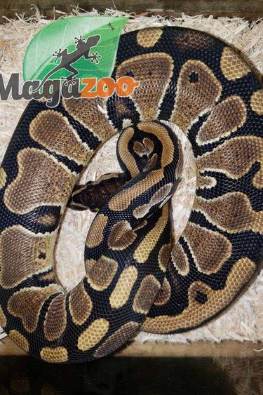 Magazoo Python Royal Régulier (Bébé) femelle