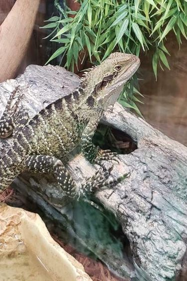 Magazoo Dragon d'eau Australien Femelle