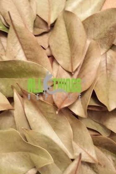 All things reptile Feuilles de magnolia premium du sud