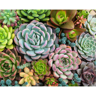 Sensitive Succulent Printed Canvas