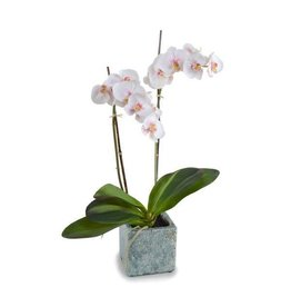 "Phalaenopsis Orchid in Blue Glazed Pot - 22"" H"
