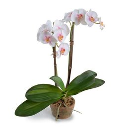 "Phalaenopsis Orchid in Terra Cotta Pot - 21"" H"