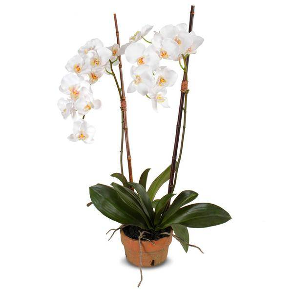 "Phalaenopsis Orchid in Terra Cotta Pot - 34"" H"