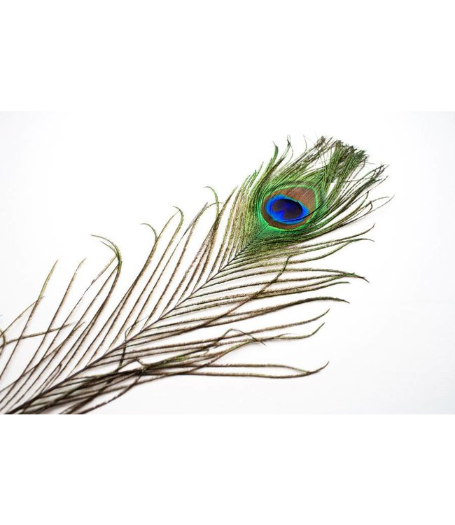 Peacock Feather by SA Feathers