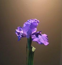 Iris Stem