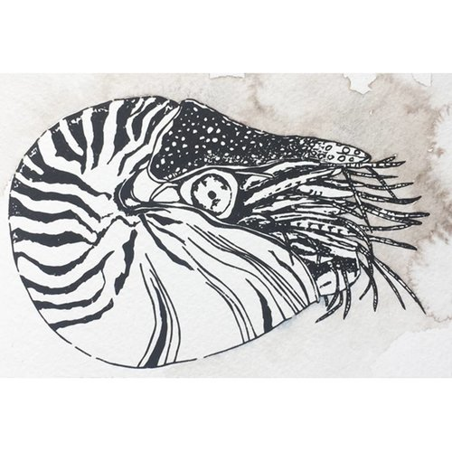 Nautilus- 5 x 7 Octopus Ink Watercolor