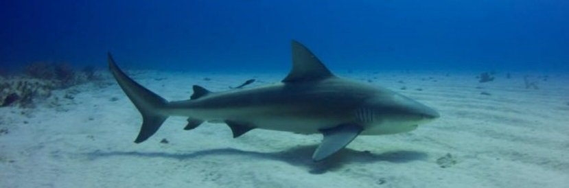 Creature Feature: Bull Sharks