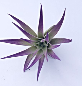 Purple Air Plant