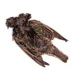 Starling Skin