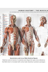Anatomy tools Anatomy Tools Anatomical Wall Chart
