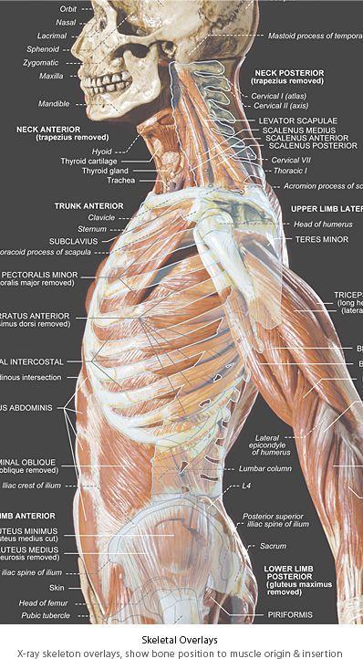Anatomy tools Anatomy Tools Anatomical Wall Chart
