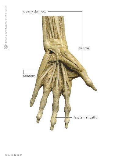 Anatomy tools Anatomy Tools Female V1 1:3 Scale Figure