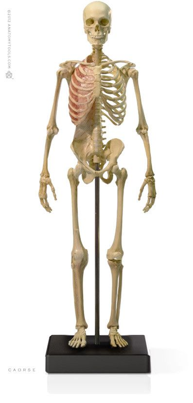 Anatomy tools Anatomy Tools Male Skeleton V3 1:6 Scale Figure