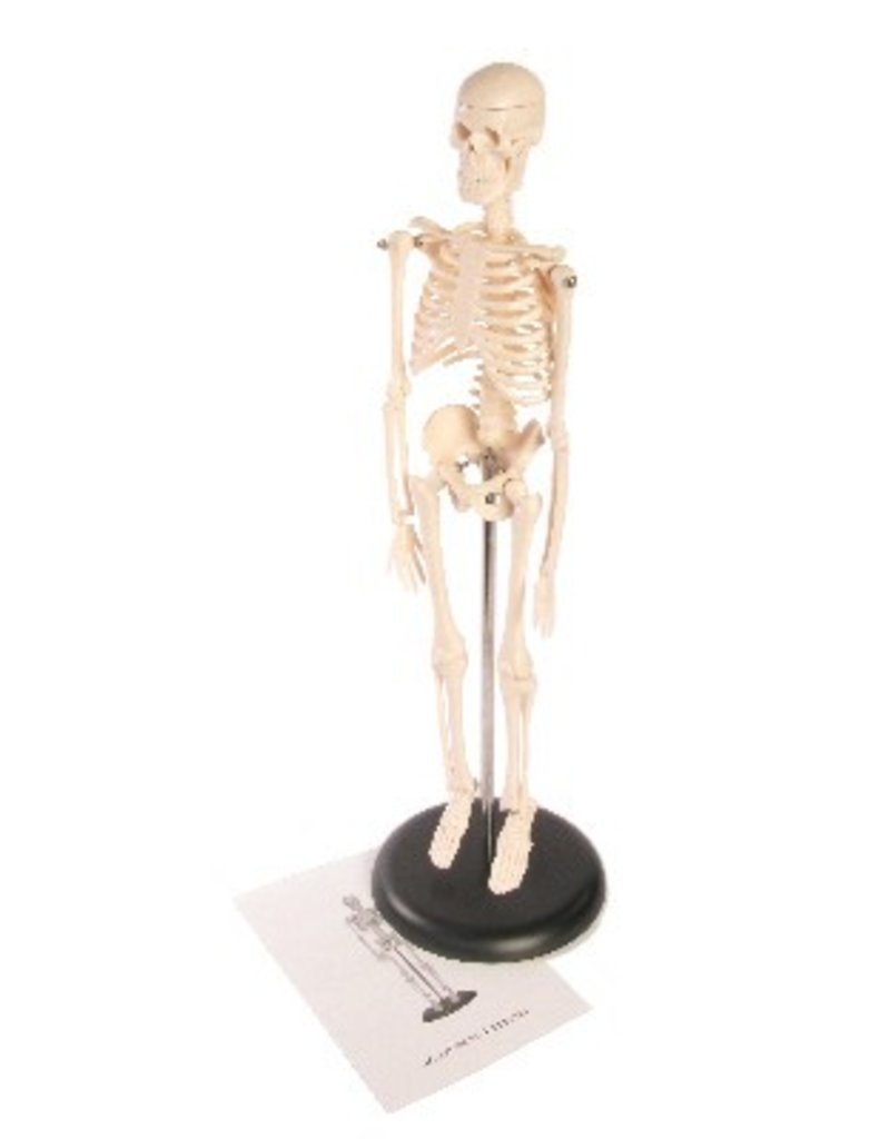 "Just Sculpt Human Skeleton ~17"" (42cm) Plastic"