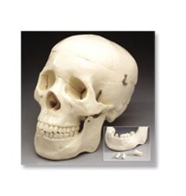 Just Sculpt Human Skull Lifesize Plastic