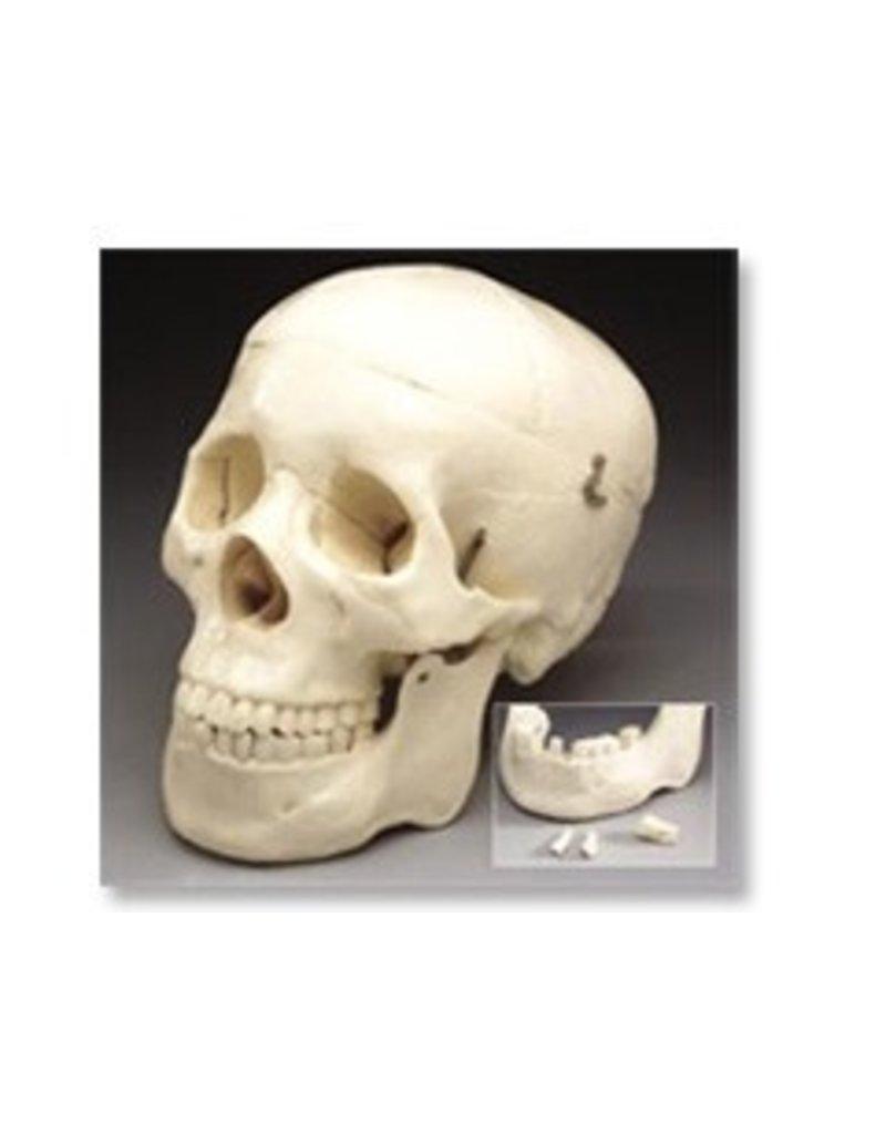 Just Sculpt Human Skull Lifesize Plastic