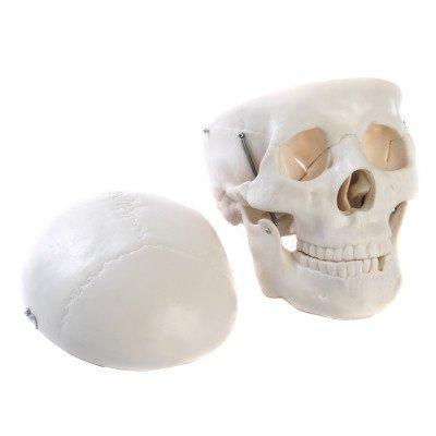 Human Skull Lifesize Plastic