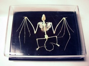 Real Bat Skeleton