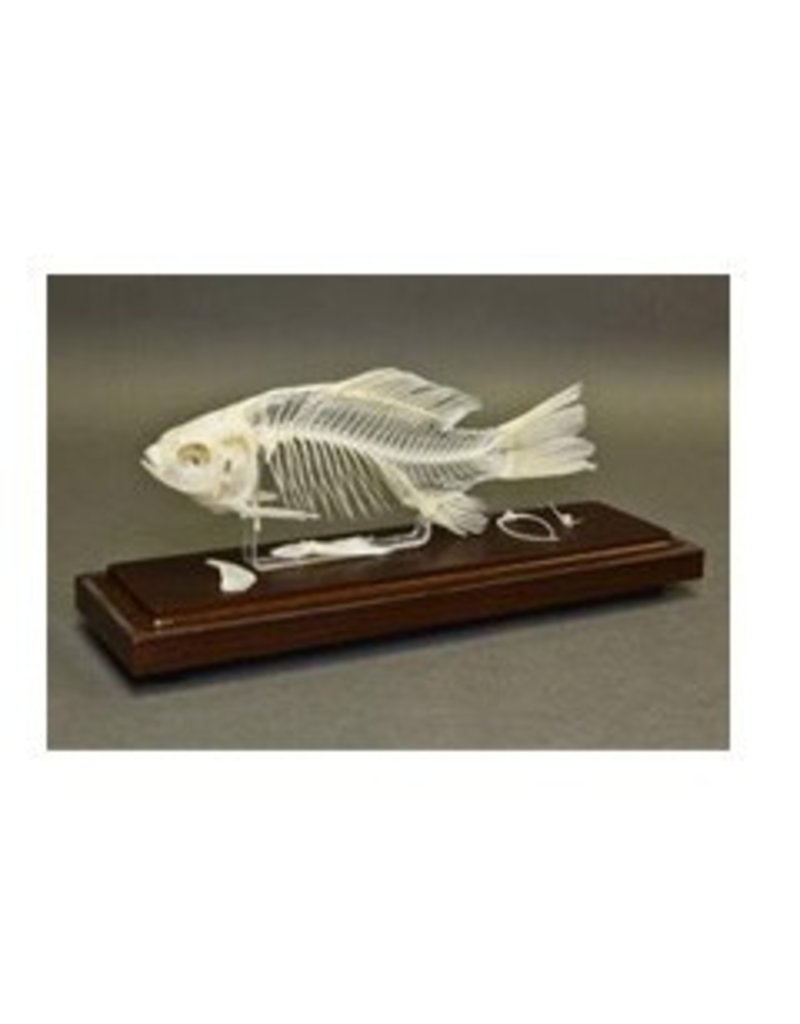 Just Sculpt Real Fish Skeleton