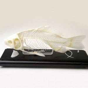 Real Fish Skeleton