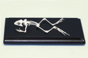 Just Sculpt Real Frog Skeleton