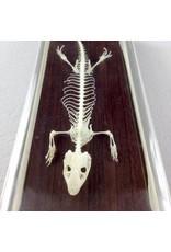 Real Lizard Skeleton