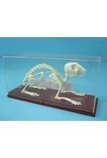 Real Rabbit Skeleton