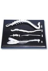Spinal Skeleton Comparison