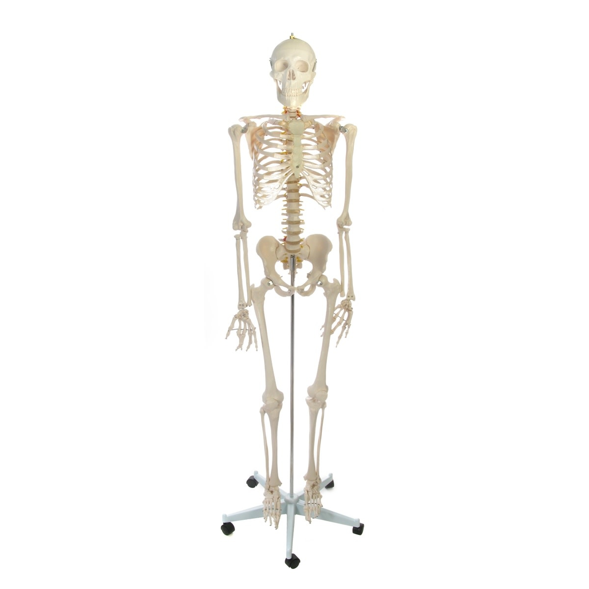 Just Sculpt Human Skeleton Life-size Plastic 66in