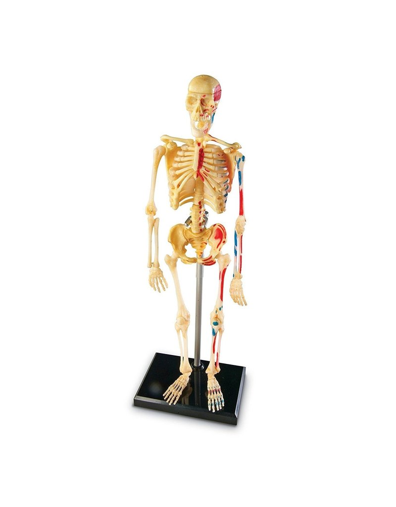 Learning Resources - Educational Insights Skeleton Anatomy Model