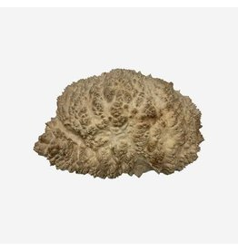 Wood Red Mallee Burl Cap #405, 12 x 8 x 2 1/2 inches, 4.90 lbs