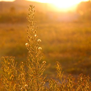 The Goldgrass Pledge