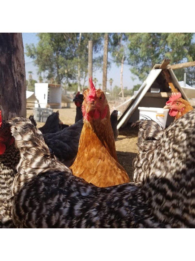 Patterson Family Organics Organic Free Range Eggs, One Dozen