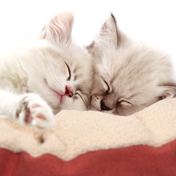 Dog & cat (D) Vesper Cat Bed - XLarge - Red - 60 x 60 x 20 cm (23.6 x 23.6 x 7.8)