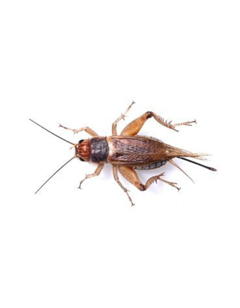 Reptiles CRICKETS 100 LOT
