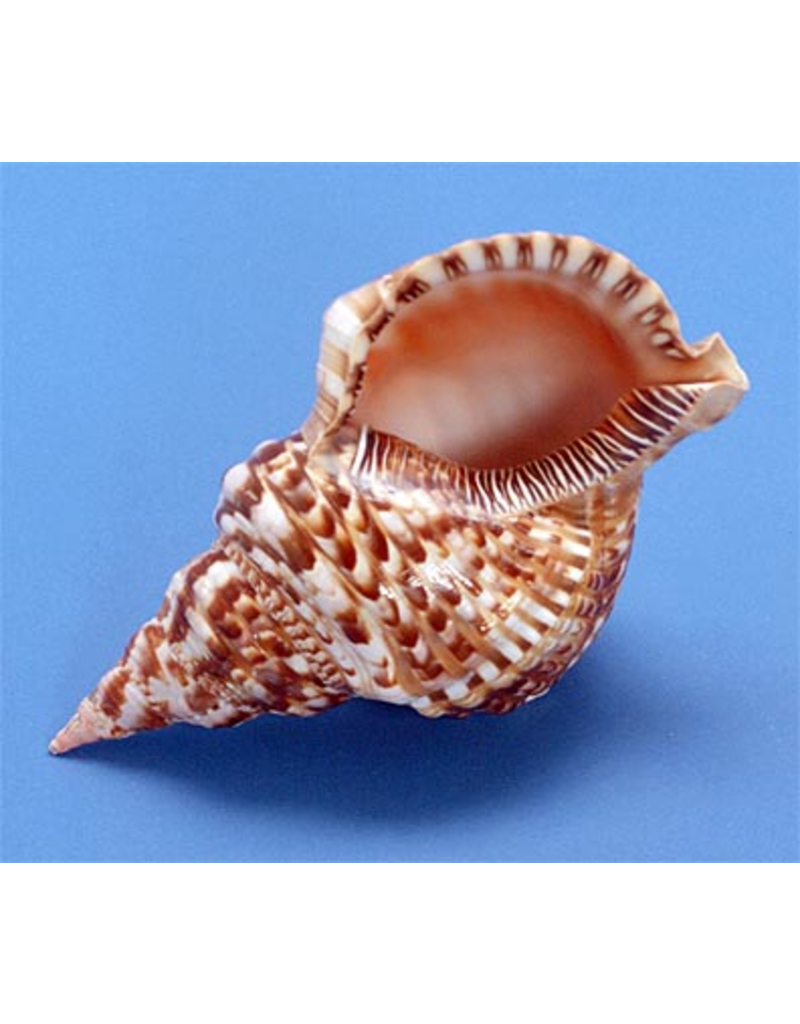 "Darlenes Shells Triton Shell 10""-12"""