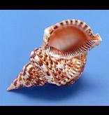 "Darlenes Shells Triton Shell 9""-10"""