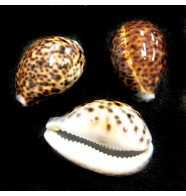"Darlenes Shells Cowrie Tiger Shell 3.5""-4"""
