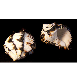 "Darlenes Shells Murex Black Shell 4""-5"""