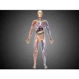 4D Master 4D Master 4D Human Anatomy Transparent Human Body