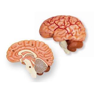 4D Master 4D Master 4D Human Anatomy Cranial Nerve Skull Anatomy Model