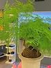 verdigris Asparagus fern kokedoma moss ball plant