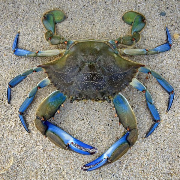 Rare Earth Gallery Blue Crab (Teaser, 50 Pieces, Artisanal Wooden Jigsaw Puzzle)