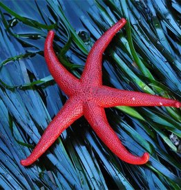 Rare Earth Gallery Starfish (Small, 126 Pieces, Artisanal Wooden Jigsaw Puzzle)
