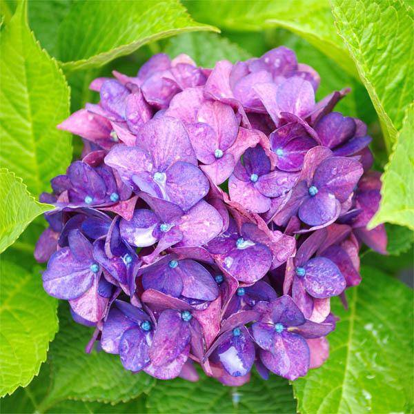 Rare Earth Gallery Hydrangea (Md, 204 Pieces, Artisanal Wooden Jigsaw Puzzle)