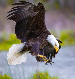 Rare Earth Gallery Bald Eagle (Teaser, 50 Pieces, Artisanal Wooden Jigsaw Puzzle)