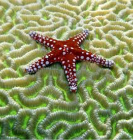 Rare Earth Gallery Starfish on Brain Coral (Md, 207 Pieces, Artisanal Wooden Jigsaw Puzzle)