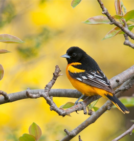 Rare Earth Gallery Baltimore Oriole (Teaser, 50 Pieces, Artisanal Wooden Jigsaw Puzzle)
