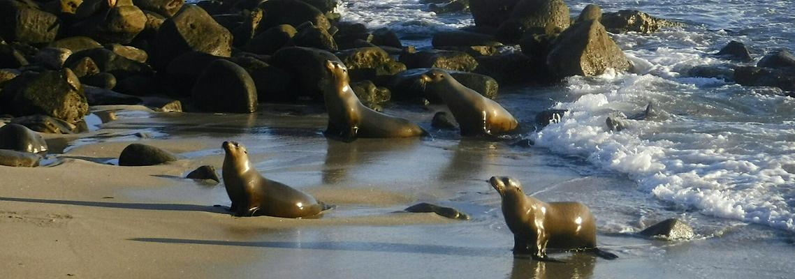 Sea Lions - La Jolla Cove, CA