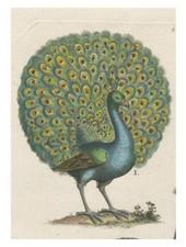 JOHN DERIAN John Derian Coy Peacock Card w/ Envelope
